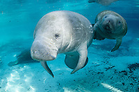 Florida manatee, Trichechus manatus latirostris, a subspecies of the West Indian manatee, endangered. A series of male and female courting or cavorting behavior with more manatee in the background. The couple swims into strong, warming sunlight. A male is following this female who doesn't seem to be swimming away. Horizontal orientation with beautiful blue spring water. Three Sisters Springs, Crystal River National Wildlife Refuge, Kings Bay, Crystal River, Citrus County, Florida USA.