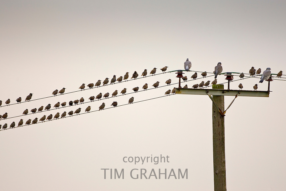 Migratory Starlings and wood pigeons at Thames Estuary. Avian Flu (Bird Flu) could be brought to Britain from Europe by migrating birds.
