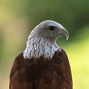 The brahminy kite (Haliastur indus), also known as the red-backed sea-eagle, is a medium-sized bird of prey in the family Accipitridae. They are found mainly on the coast and in inland wetlands, where they feed on dead fish and other prey.