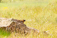 A yellow-bellied marmot stands guard on its rock in a field near Aspen, Colorado in the White River National Forest. The shrill whistle they send out as an intruder warning to other nearby marmots in the area is why these relatives of ground squirrels are often called whistle pigs.