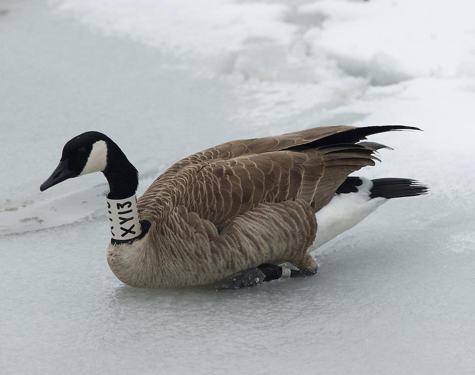 Collared geese along the Deschutes River.