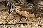 Hammerkop (Scopus umbretta). The hammerkop is found in all wetland habitats in sub-saharan Africa, Madagascar and southwest Arabia. Hammerkops are wading birds and their food includes fish, frogs, rodents and similar small animals. The hammerkop nest is a huge haystack-like construction, almost 2 metres wide, which is reused each year. Photographed in Ethiopia.