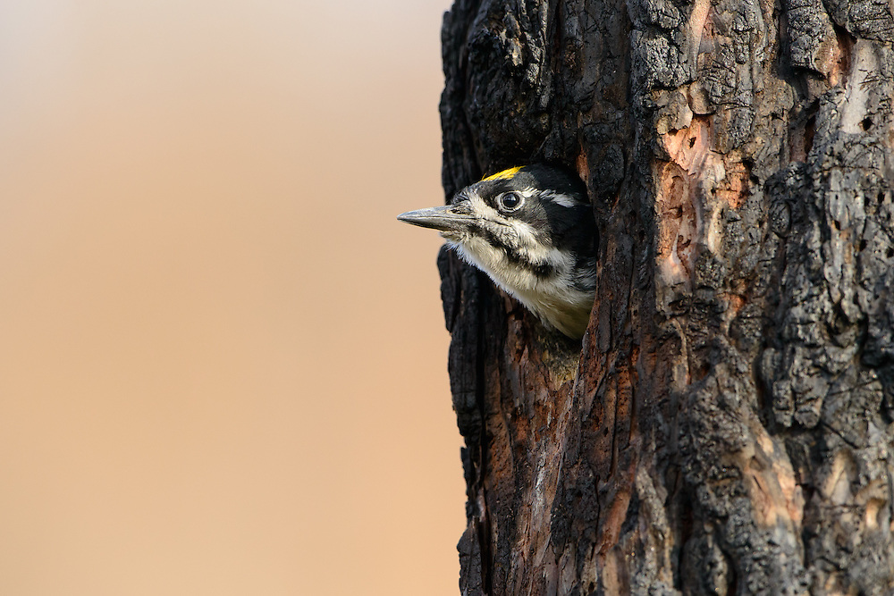A male three-toed woodpecker (Picoides tridactylus) pokes his head from his cavity nest, Lolo National Forest, Montana