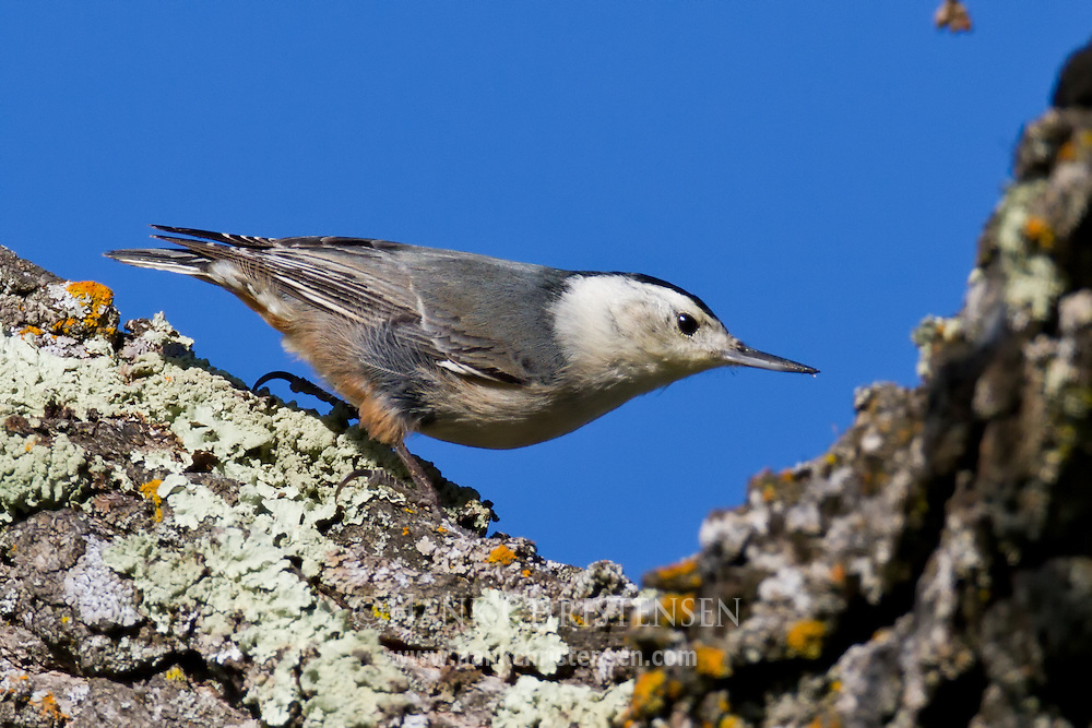 A white-breasted nuthatch clings to lichen on a tree trunk