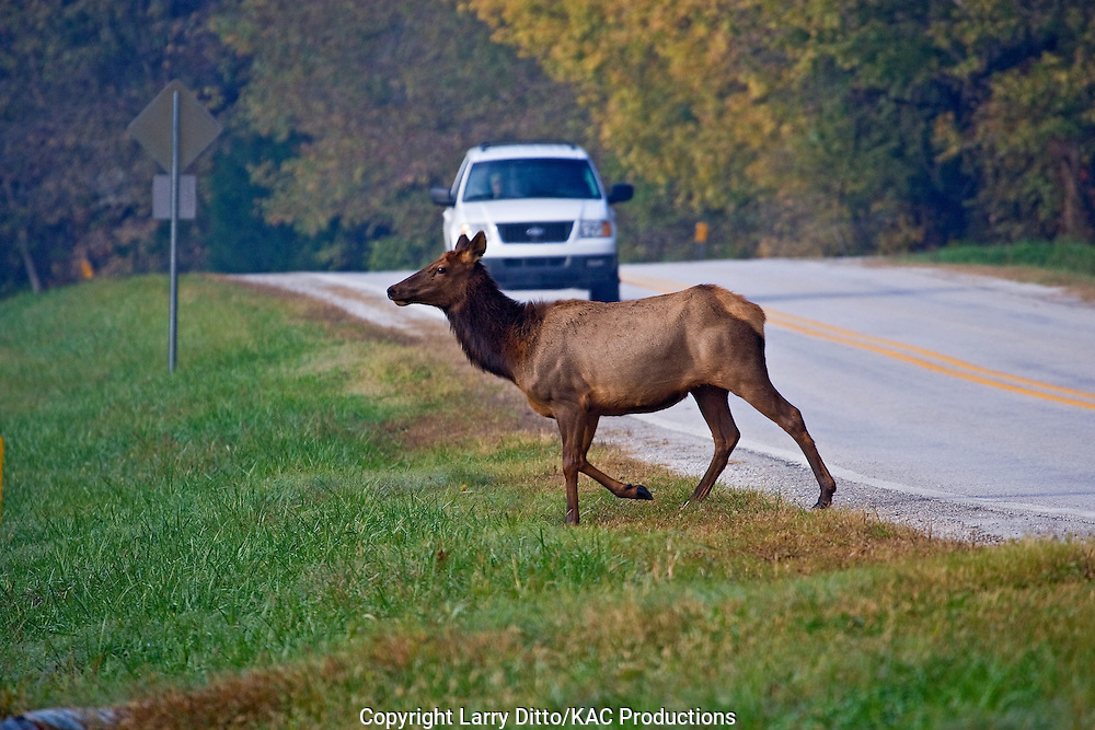 Elk (Cervus elaphus) cow crossing highway, reintroducted herd, Ozark Mountains, Arakansas, November