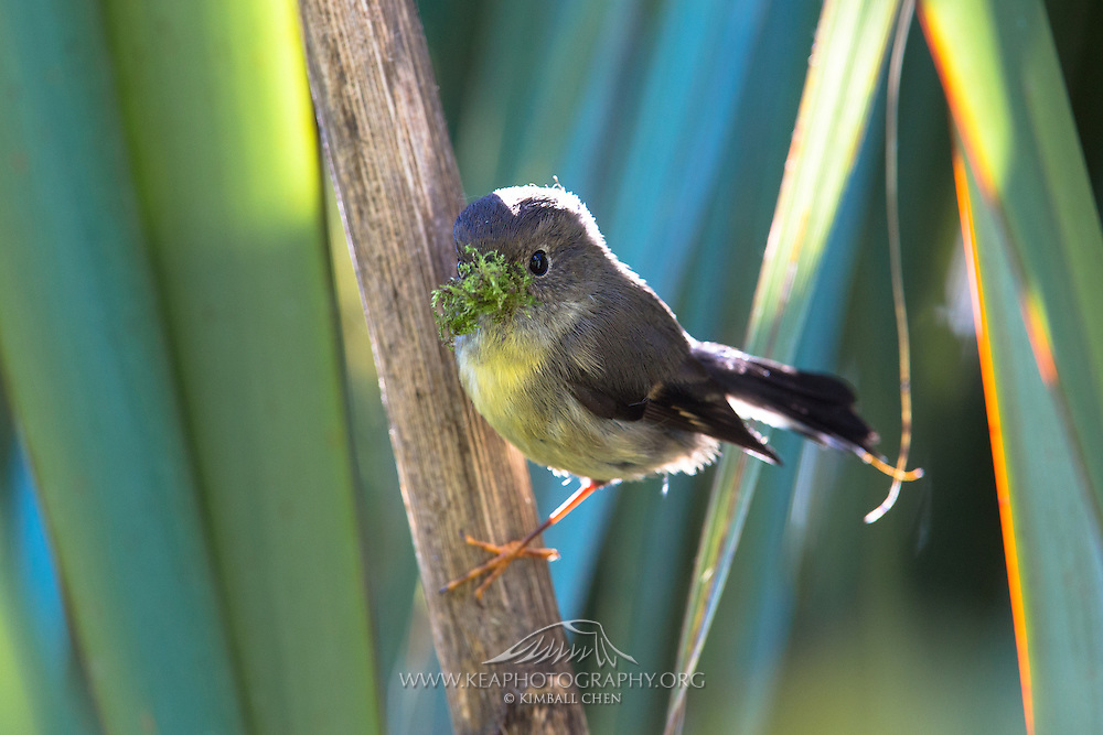 South Island Tomtit with fresh vegetation to add to its nest.