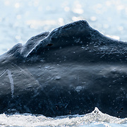 A humpback whale (Megaptera novaeangliae kuzira) that had an unusual dorsal fin, one that was split into three sections. It was not possible to determine whether this split dorsal was present from birth, or whether it was the result of an accident such as a propellor strike. I photographed this same whale in 2016 at Point Adolphus. (see unusual-dorsal-fin-humpback-whale-alaska-201607-2096.tif). In 2018, this whale was in a bubble-feeding group active in the Icy Strait, around Pleasant Island and Gustavus. This was one of two whales in the 2018 group that I recognized from 2016.