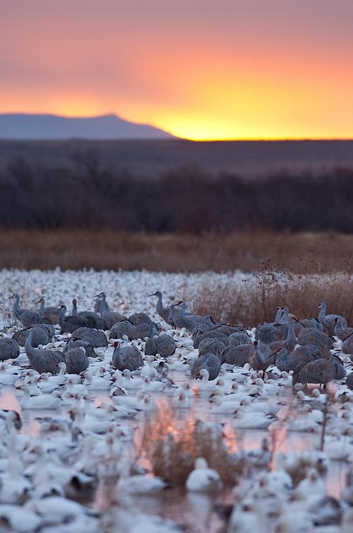 Sandhill Cranes, Grus canadensis & Snow Geese, Chen caerulescens, Bosque del Apache NWR, New Mexico