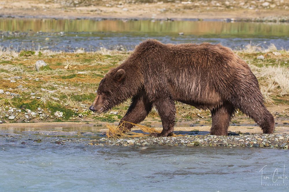 brown bear ~ Ursus arctos ~ adult ~ Katmai National Park, Alaska ~ www.adventurequestX.com