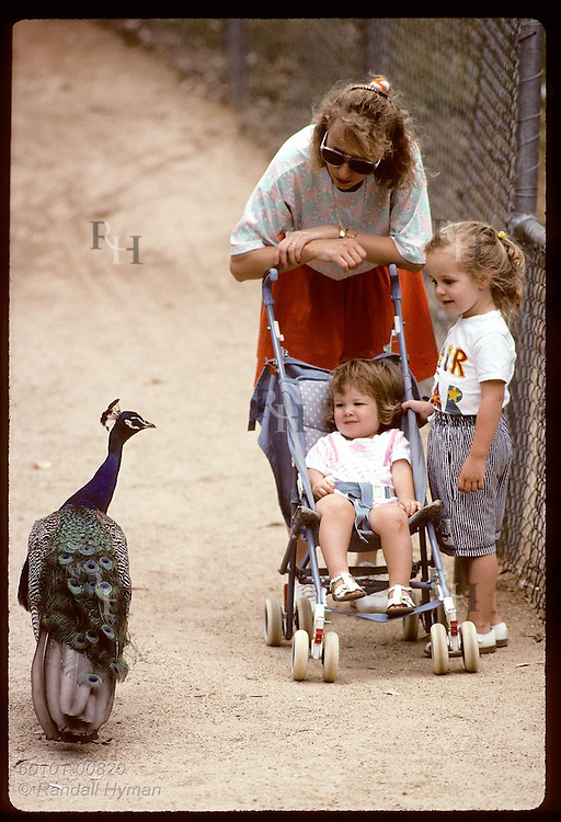 Mom and two daughters, one in stroller, stop to admire peacock as it struts by in zoo; Wagga, NSW. Australia