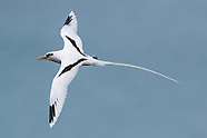White-tailed Tropicbird photos