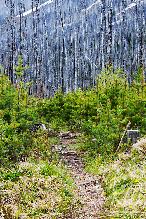 Regerminating Forest After Burn, Kootenay National Park, British Columbia, Canada