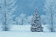 hoarrost on trees in winter<br /> Birds Hill Provincial Park<br /> Manitoba<br /> Canada