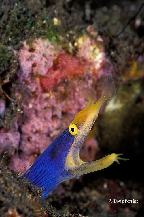 blue ribbon eel, Rhinomuraena quaesita, male - blue color phase, Tulamben Bay, Bali, Indonesia