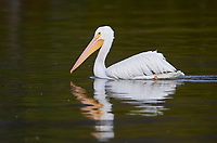 American White Pelican (Pelecanus erythrorhynchos) swimming in Lake Chapala, Jocotopec, Jalisco, Mexico