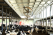 Israel, Jordan Valley, Kibbutz Asdot Yaacov, The dairy cowshed, The fans in the loafing barn are used to cool the animals and dry the manure This reduces costs by extending the time between clearing the shed