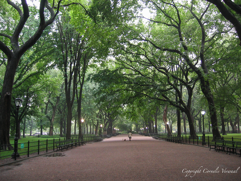 American Elms on The Mall in Central Park, New York City