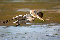 Brown Pelican Pelecanus occidentalis Ding Darling National Wildlife Refuge Sanibel Island Florida USA