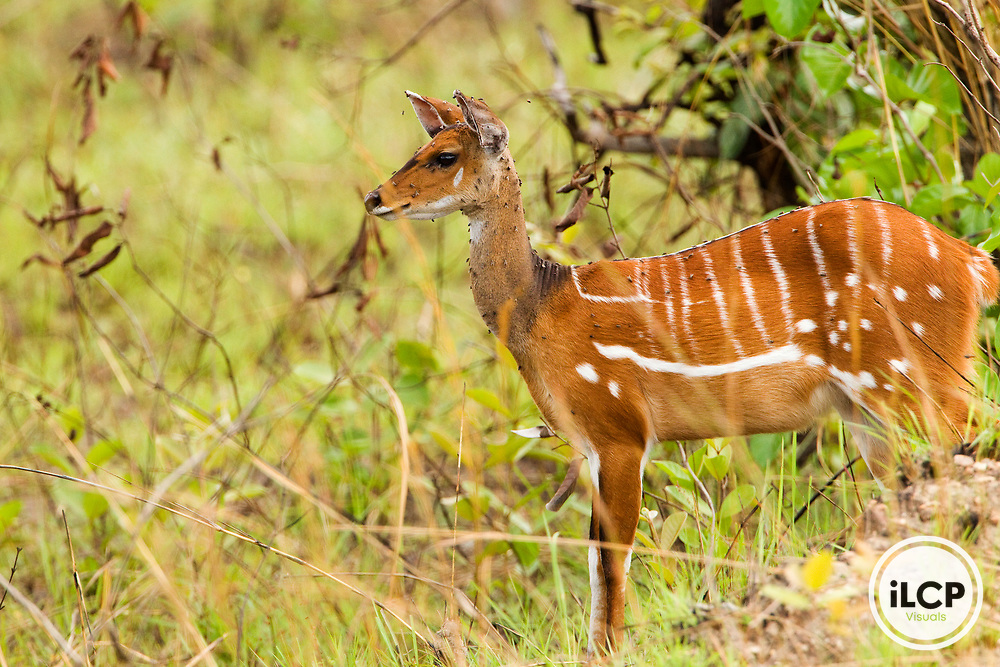 Bushbuck (Tragelaphus scriptus) female on alert, Lope National Park, Gabon