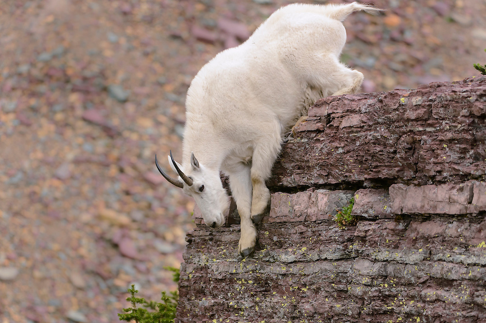A mountain goat (Oreamnos americanus) climbs down from a boulder, Northern Montana