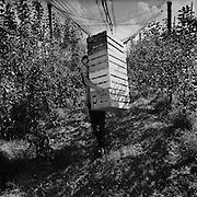 Jeune ouvrier agricole transportant un lot de caisses en bois pour la récolte des pommes. Junger Landarbeiter mit leeren Holzkisten für die Apfelernte. © Romano P. Riedo