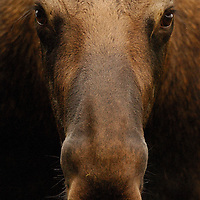 Head shot of bull moose on the Power Line Trail, Chugach State Park, Alaska.