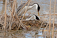 The Western Grebe nesting season is in full swing.