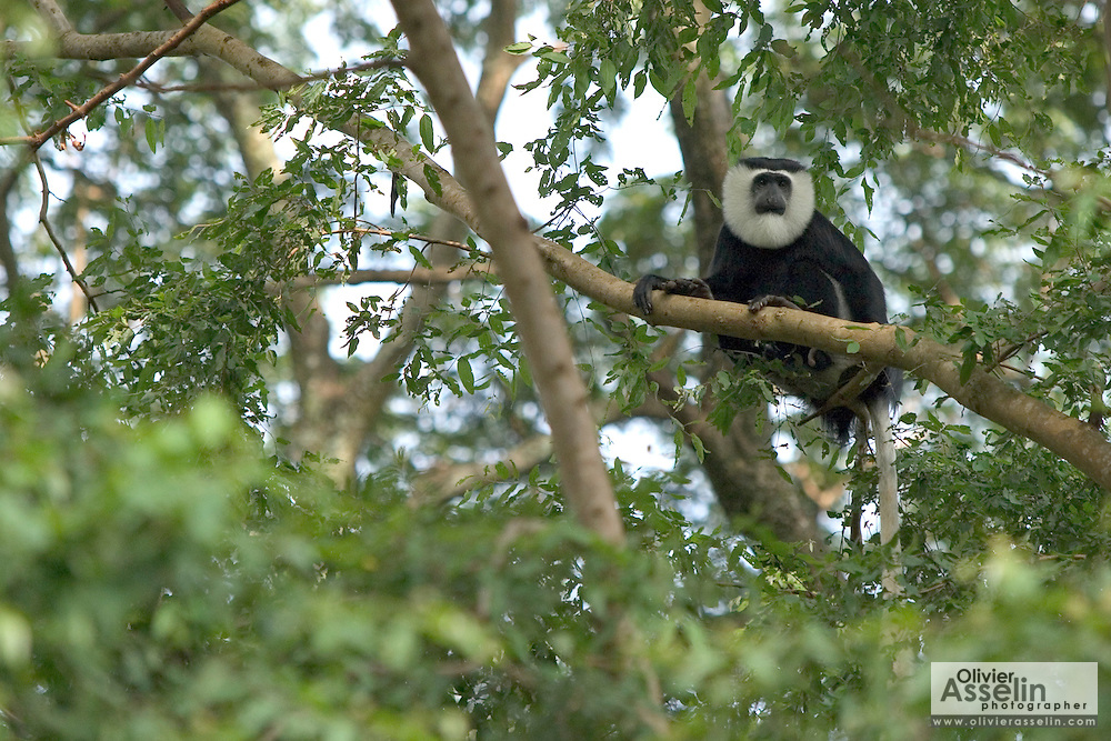 Black and white colobus monkey at the Baobeng-Fiema monkey sanctuary, Ghana, West Africa.