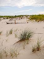 American Beachgrass (Ammophila breviligulata) seen here growing on Island Beach State Park, New Jersey.