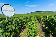 Trimmed vines of vineyard Larmandier-Bernier on the Champagne Tourist Route in Vertus, Marne Valley, Champagne-Ardenne, France