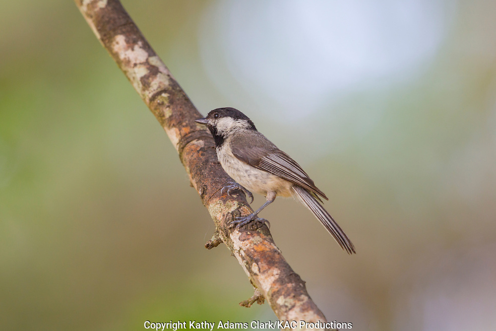 Carolina chickadee, perched, Comfort; Block Creek Natural Area; Texas; Kendall County; summer