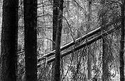 fallen trees Holland
