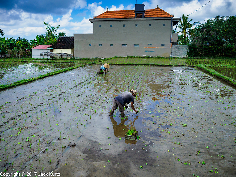 10 AUGUST 2017 - UBUD, BALI, INDONESIA:  Men transplant young rice plants in a rice field about 1.5 kilometers from downtown Ubud. Rice is the most important crop grown on Bali and is important as a food source and a symbol of Balinese culture. In accordance with Balinese tradition, men transplant the young rice plants from nurseries to the fields and women harvest the rice when it matures.    PHOTO BY JACK KURTZ