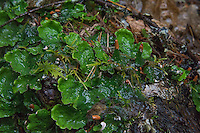 "Also known as the green dog lichen, the common freckle pelt lichen (Peltigera aphthosa) is closely related and looks very similar to its coastal cousin, the freckle pelt lichen (Peltigera britannica) except that there are minor, small physiological differences in the brown/black ""freckles"" and that this one is not found in coastal environments. It is found commonly throughout the Northern hemisphere at alpine elevations, such as this one that was found in the Cascade Mountains east of Greenwater, Washington in Pierce County. This one shows the reddish-brown apothecia, the reproductive structures that form on the end of its ""leaves""."