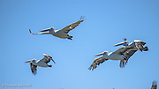 The Australian pelicans rose on steady and strong wingbeats from the shore of the lake, circled overhead before settling back to the water of the lake.