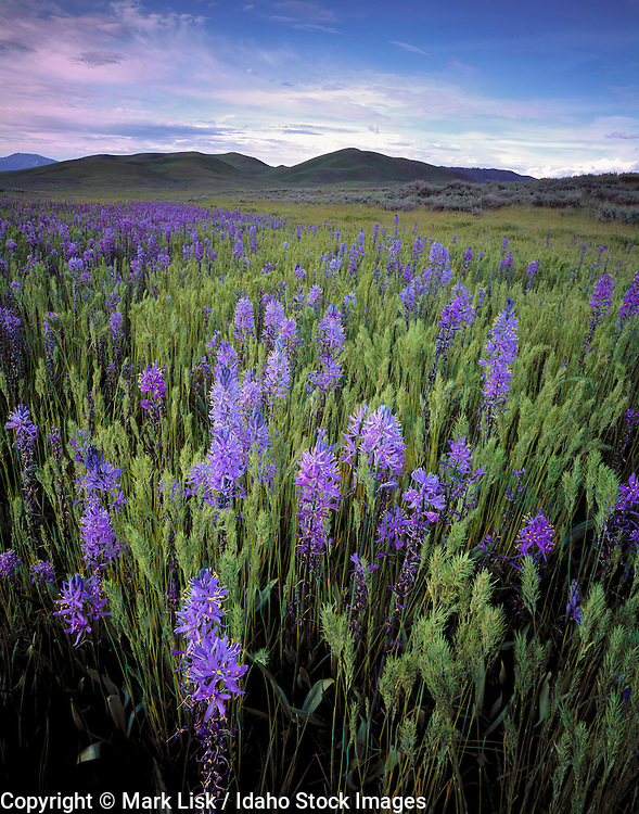 Idaho. Purple Camas on the green hill near Fairfield on the Camas Prarie.