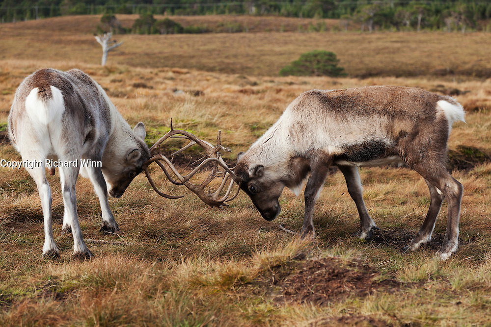 Two young adult reindeer practicing their skills at rutting.