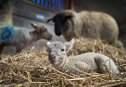 © Licensed to London News Pictures. 08/01/2017. Fetcham, UK. A two day old lamb keep warm in a barn on Barracks farm. 80 ewes are expected to give birth to 80-90 lambs for the Easter market. The farm is owned by the Conisbee family who have  supplied their own butchers shops in nearby Horsley for over 250 years. Photo credit: Peter Macdiarmid/LNP