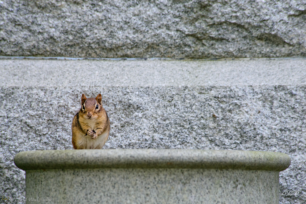 "An eastern chipmunk (Tamias striatus) stares defiantly from his seat on an old granite urn in Mount Auburn Cemetery, Cambridge, Massachusetts.  The eastern chipmunk is the sole living member of the chipmunk subgenus Tamias, and is found only in eastern North America.  The name ""chipmunk"" is derived from the Algonquian language meaning ""one who descends trees headlong.""  The eastern chipmunk reaches 30 cm (12 in) in length including the tail, with a weight of 66–150 g (2.3–5.3 oz).  Interestingly, it has two fewer teeth than other chipmunks and four toes each on the front legs, but five toes on each of the hind legs.  Although they climb trees well, they construct underground nests with extensive tunnel systems, and several entrances. To hide the construction of its burrow, the eastern chipmunk carries soil away from its hole in its cheek pouches.  They are mainly active during the day, consuming bulbs, seeds, fruits, nuts, green plants, mushrooms, insects, worms, and bird eggs.  The eastern chipmunk leads a solitary life, except during mating season. Females usually produce one or two litters of three to five young, usually from February to April and/or June to August. On average, eastern chipmunks live three or more years in the wild, although in captivity they may live up to eight years."