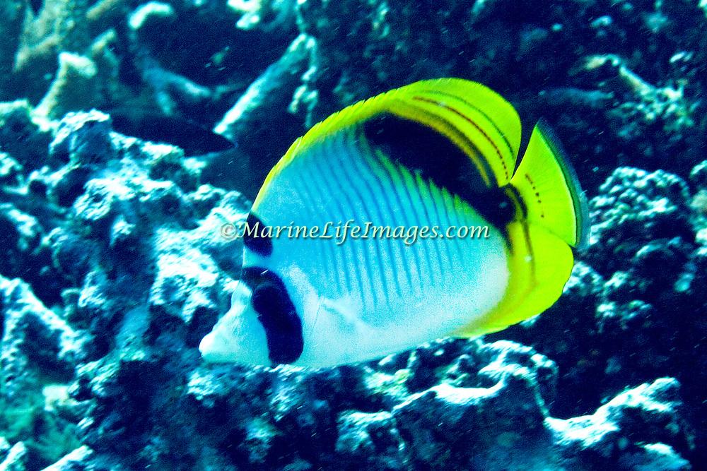 Spot Nape Butterflyfish inhabit coral rich areas of reefs. Picture taken Fiji.