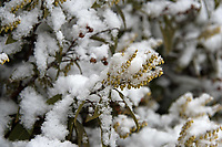 Close-up of Pieris japonica buds in a January snowfall.