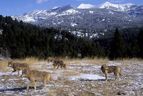 Gray Wolf, (Canis lupus) Pack in foothills of Crazy Mountain Range. Captive Animal.