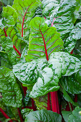 Red stemmed Ruby Chard