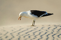 Kelp Gull calling on patterned sand dunes, De Hoop Nature Reserve and marine protected area, Western Cape, South Africa