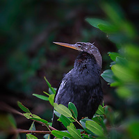 Anhinga, alternately known as snake bird or devil bird, at rest in mangrove.