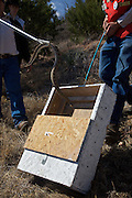 Sweetwater, TX - March 15: Snake hunters load a western diamondback rattlesnake into a capture box during the 51st Annual Sweetwater Texas Rattlesnake Round-Up, March 15, 2009 in Sweetwater, TX. During the three-day event approximately 10,000 rattlesnakes will be collected, milked and served to support charity.   (Photo by Richard Ellis/Getty Images)