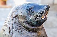Portrait of a Cape Fur Seal bull, Kalk Bay Harbour, Cape Town, Western Cape, South Africa.
