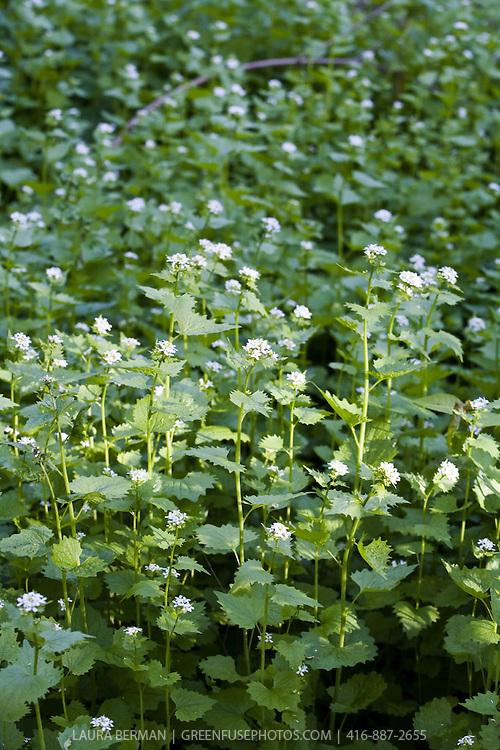 Garlic mustard, an invasive but edible weed (Alliaria petiolata).