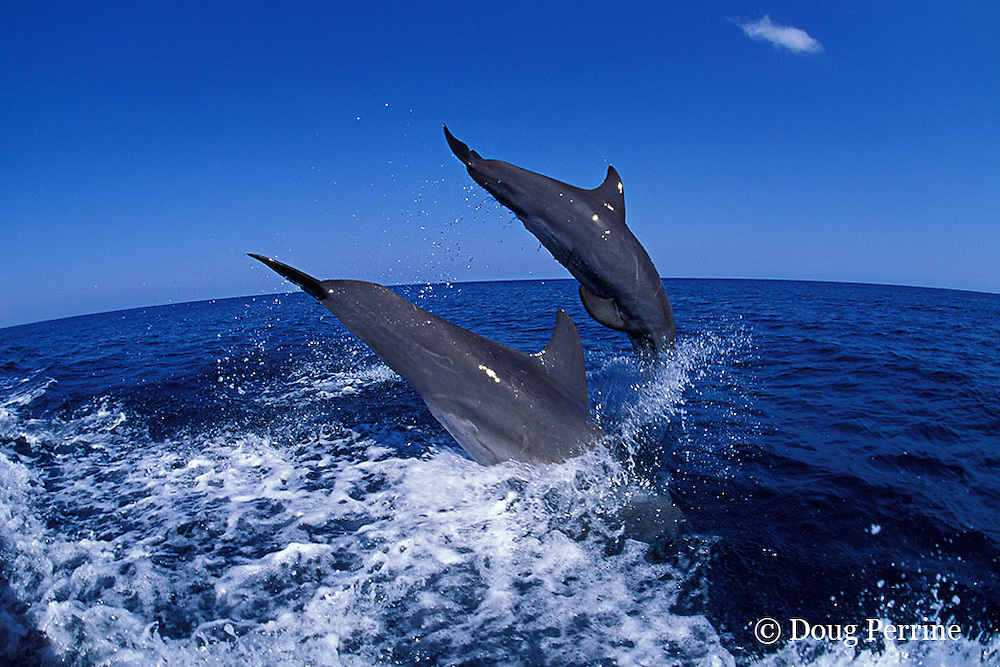 bottlenose dolphins, Tursiops truncatus (c-r)<br /> jump sequence (#3 of 3)<br /> Roatan, Honduras ( Caribbean Sea )