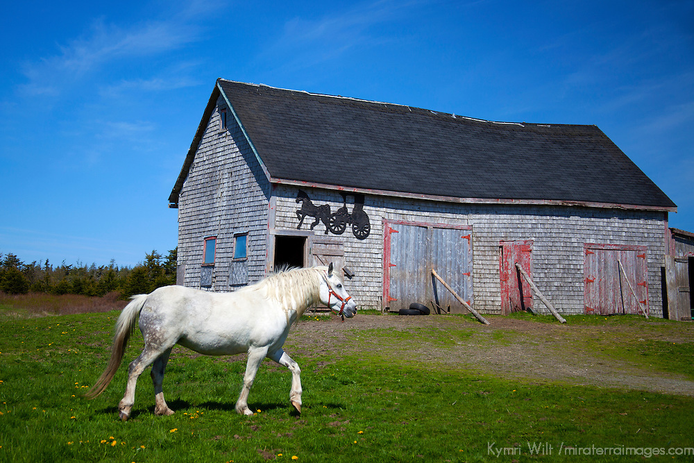 Canada, Nova Scotia, Guysborough County. Horse and weathered barn of Nova Scotia.